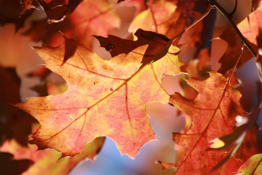 Red and Orange Leaf Cluster