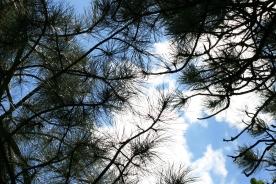 Pine Filtered Sun