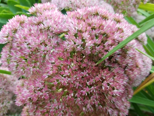 Autumn Sedum