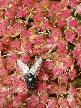 Autumn Sedum Fly