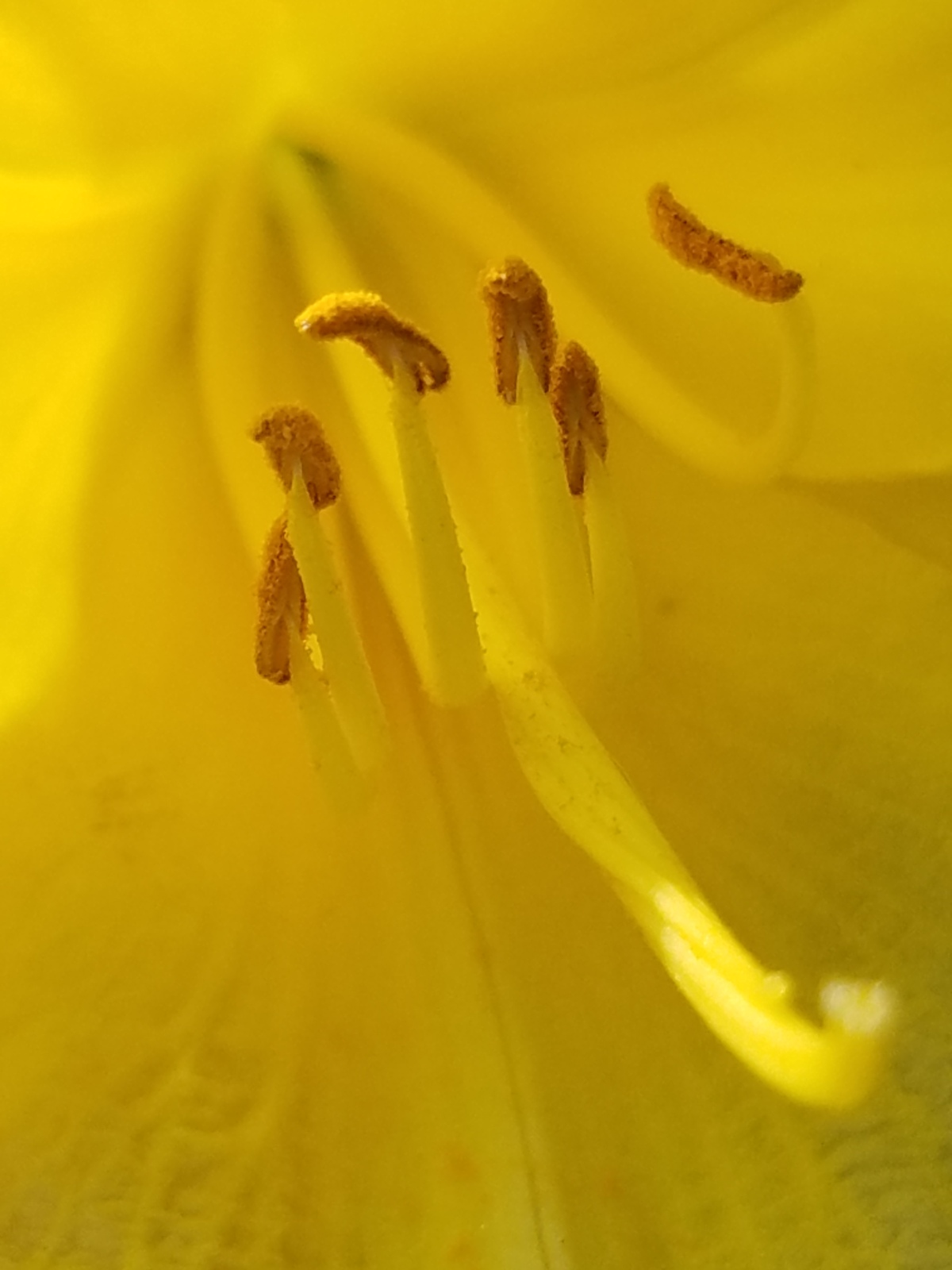Yellow Lily Close Up Center