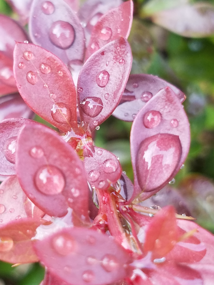 Red Leaf Rain Drops