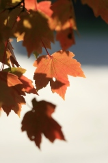 Sunny Fall Maple Leaves