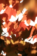 Red/Orange Fall Maple