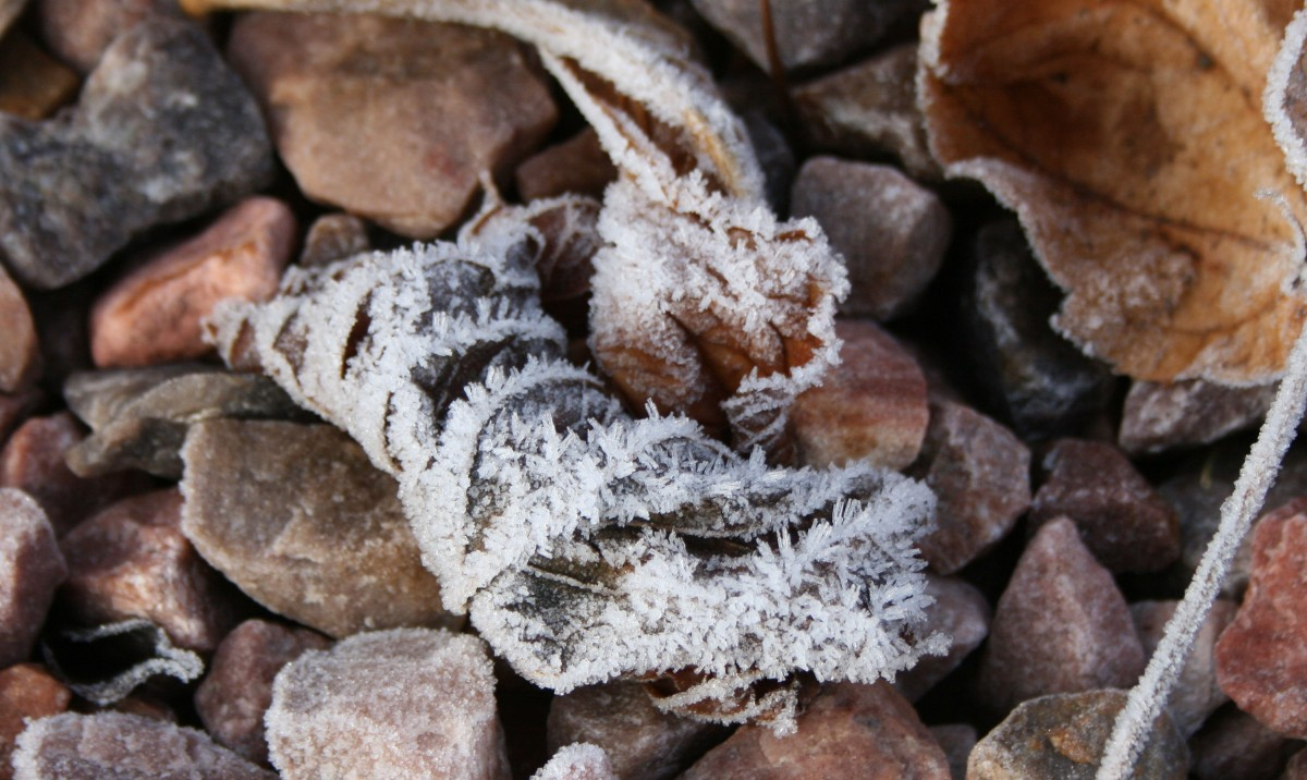 Frost Iced Leaf