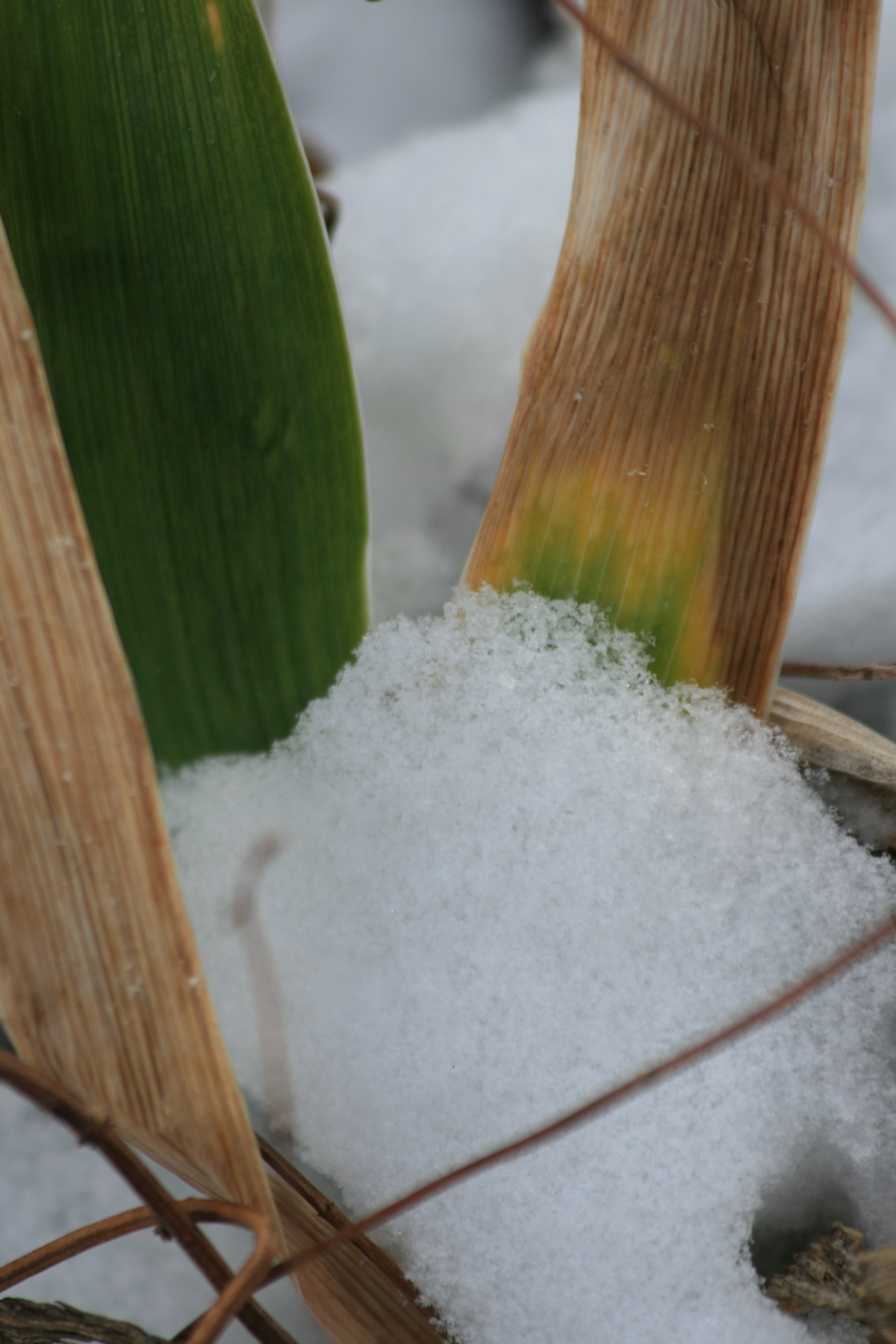 Snowy Iris