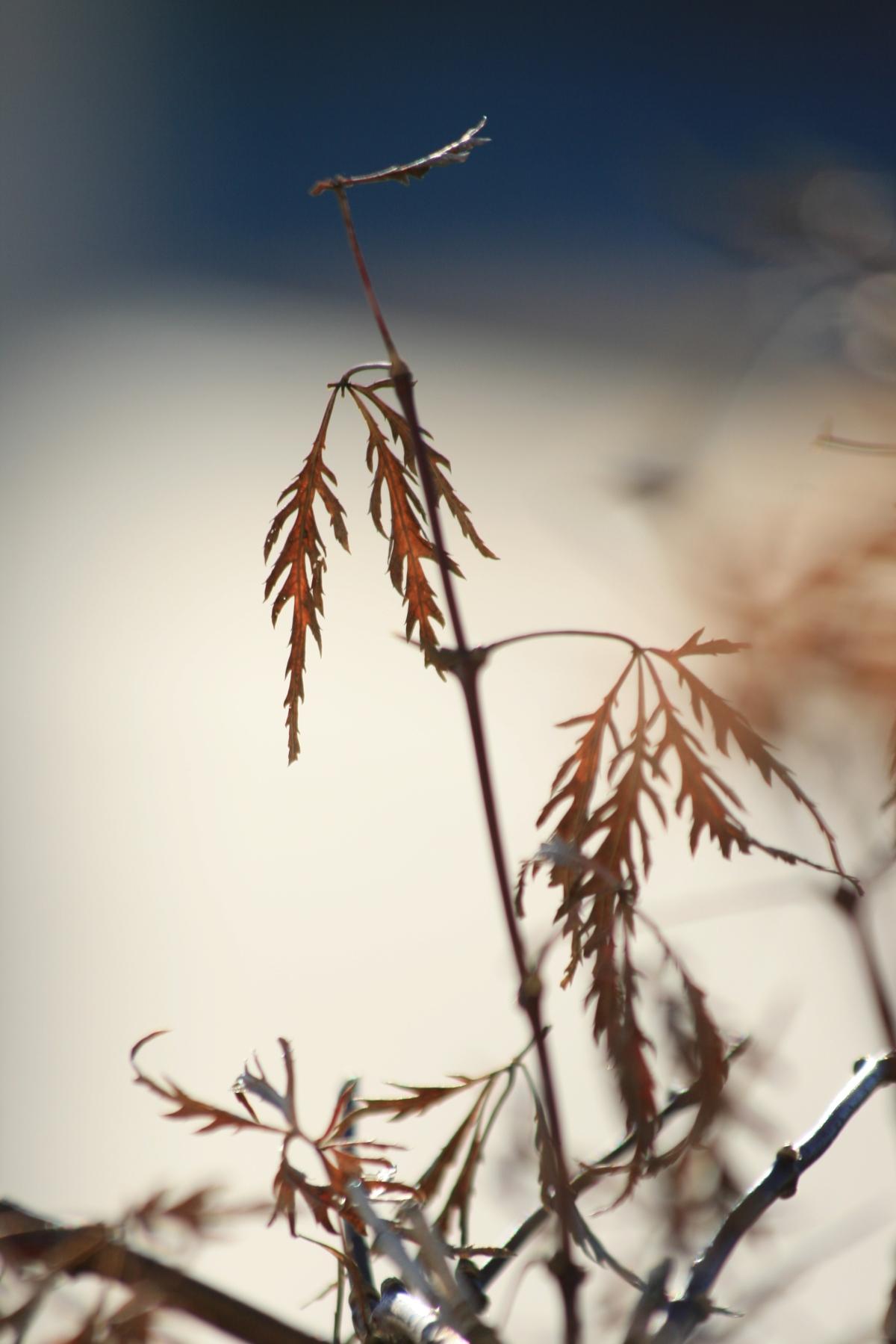 Dead Japanese Maple Leaves
