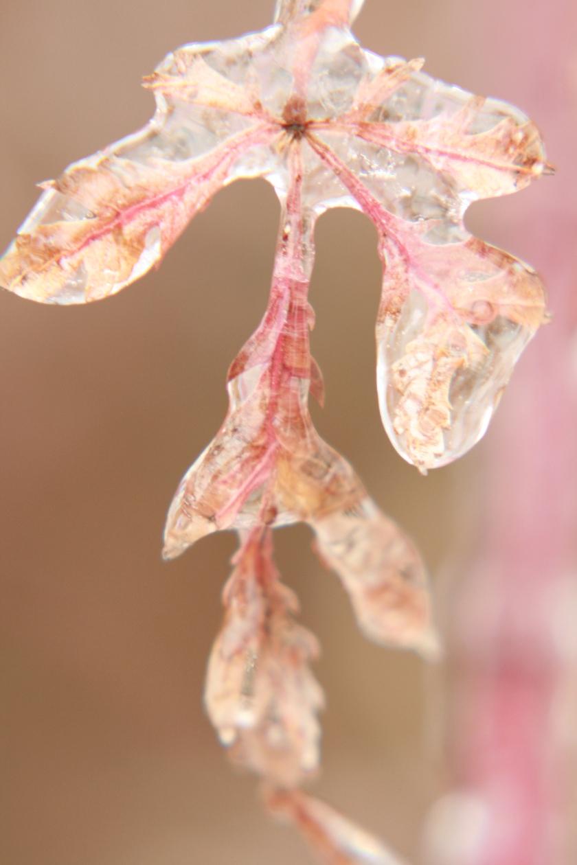 Iced Over Japanese Maple Leaf