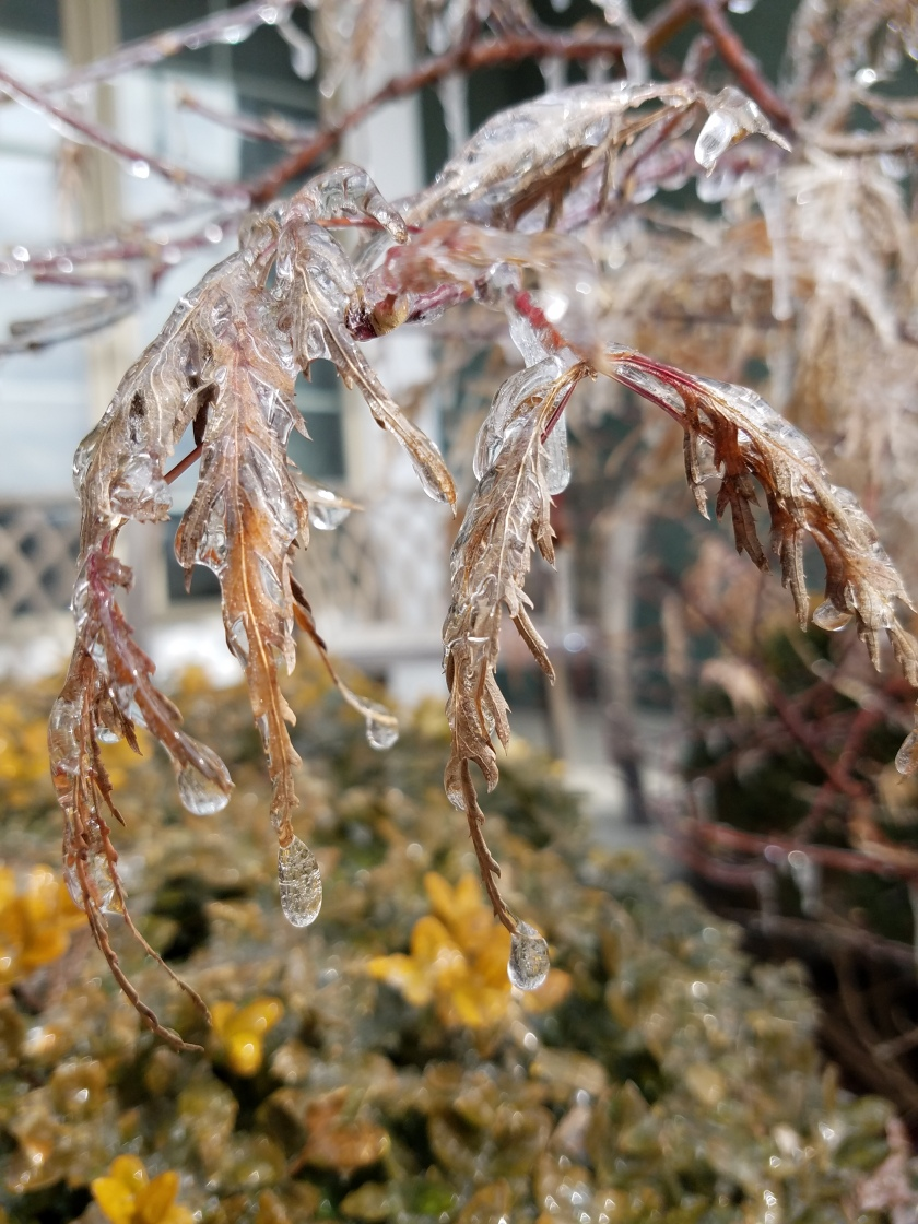 Iced Over Japanese Maple Leaves