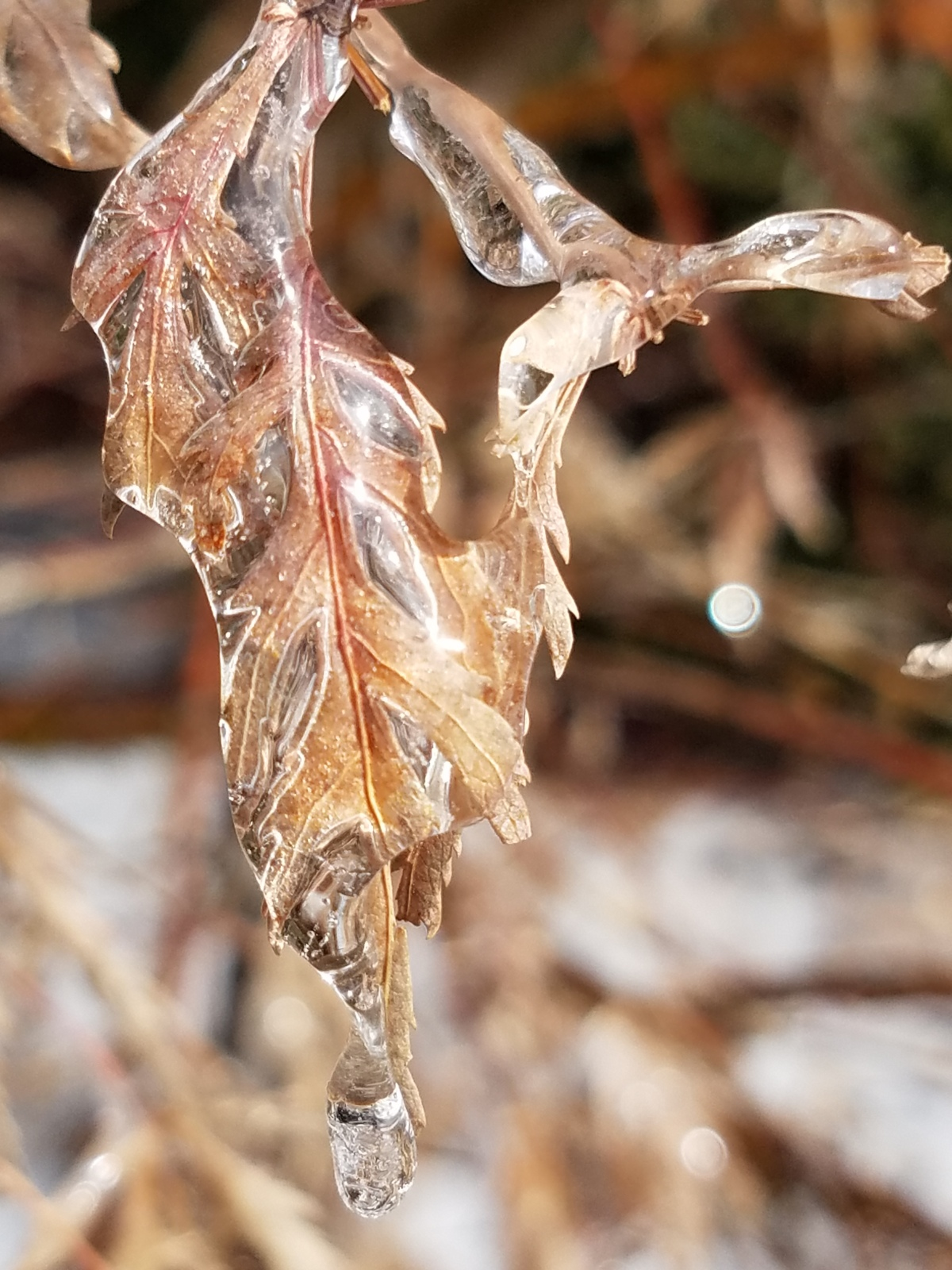 Iced Over Japanese Maple Leaf