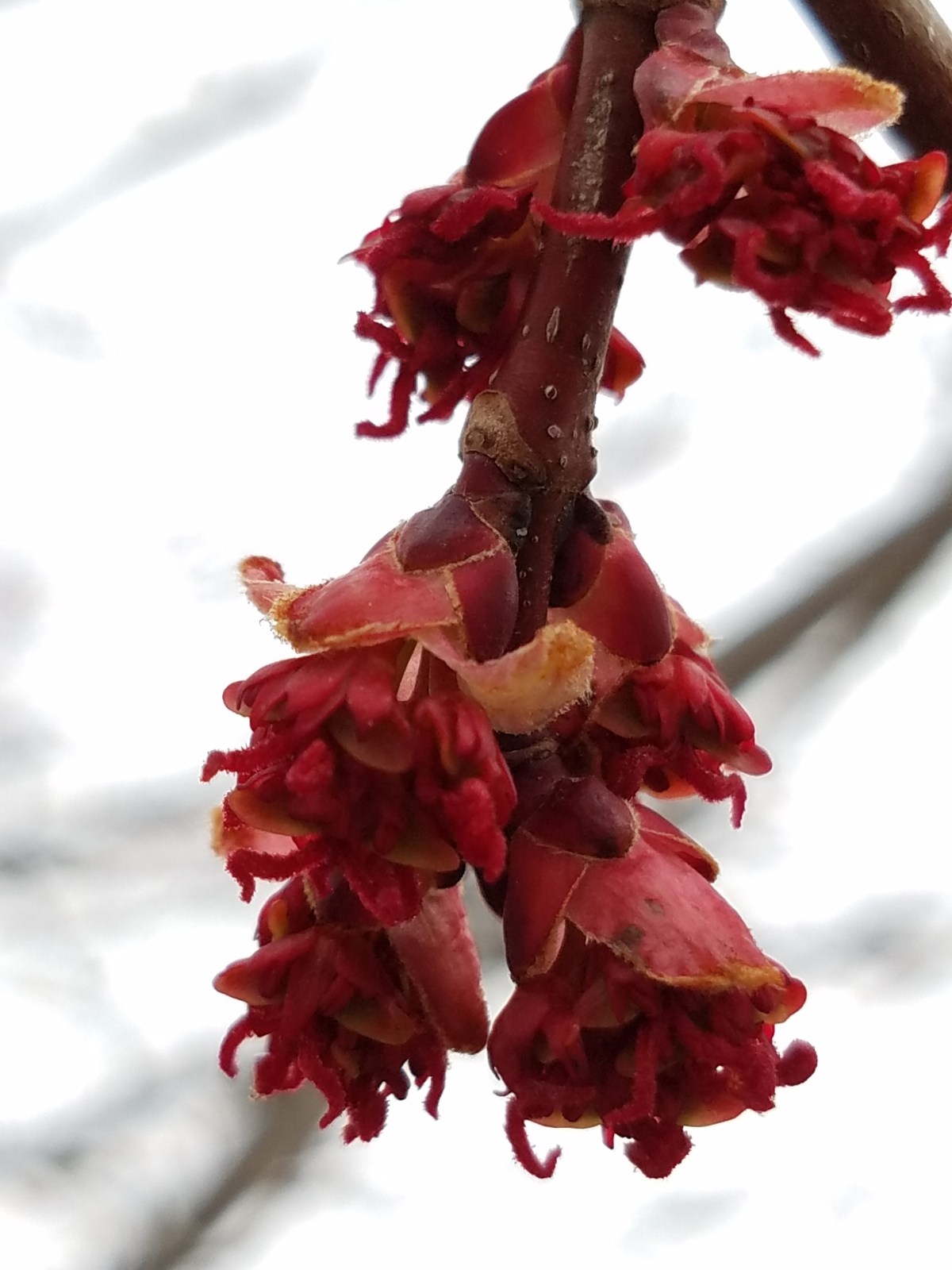 Maple Buds