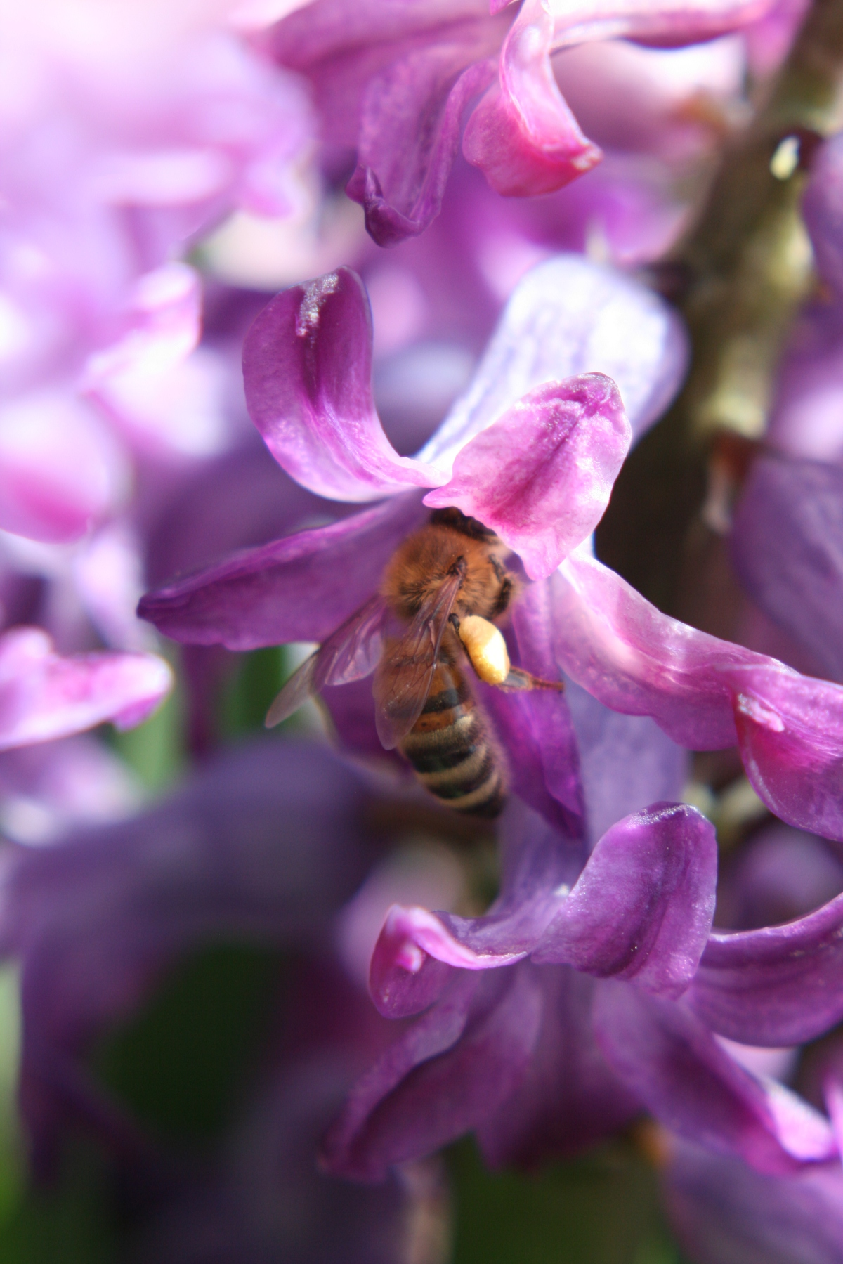 Bee in Purple Hyacinth