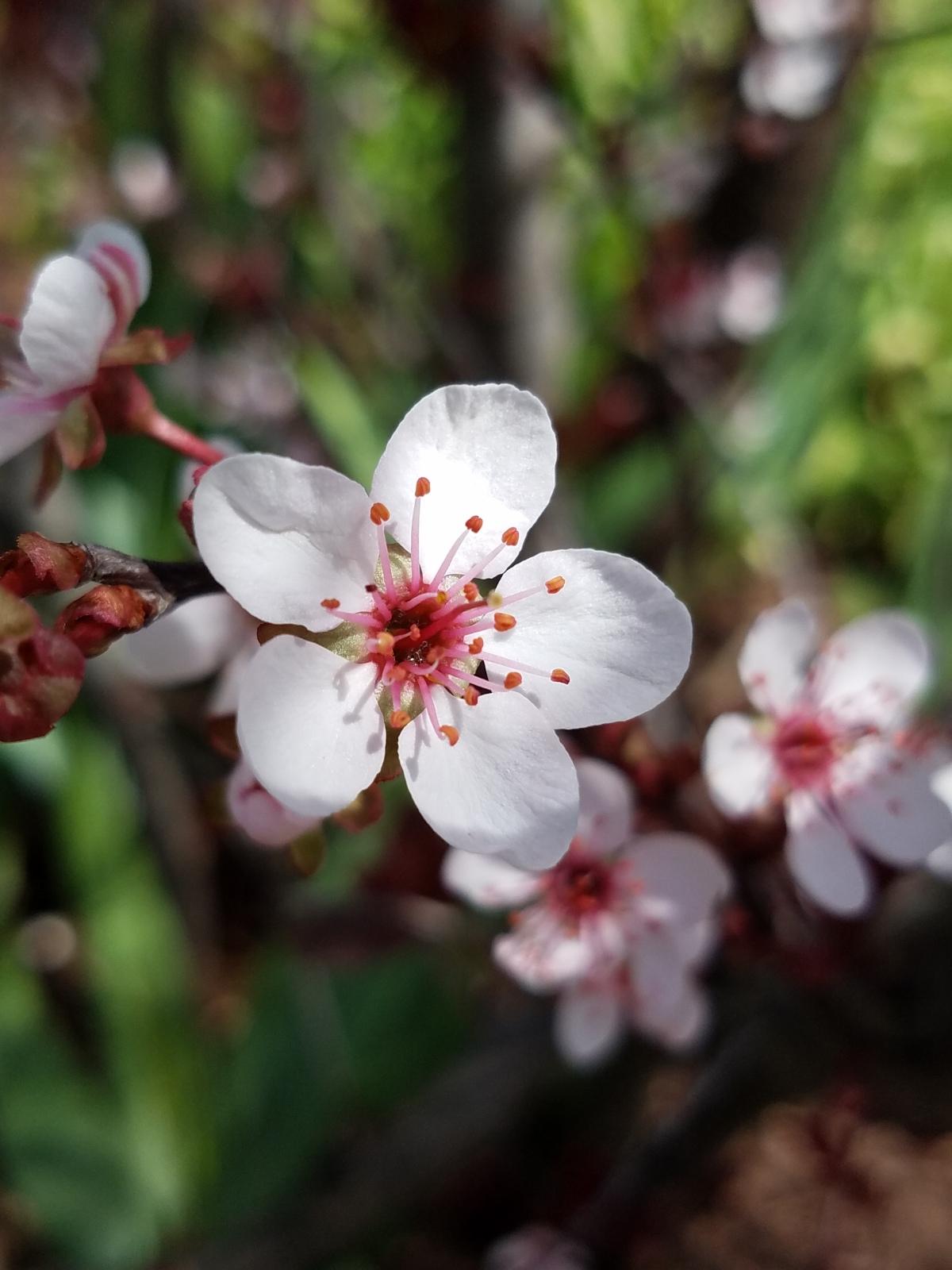 Sand Cherry Blossom
