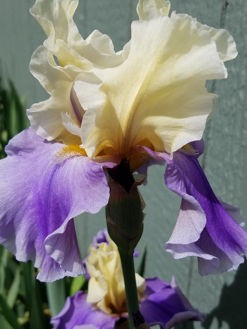 Purple and Cream Iris