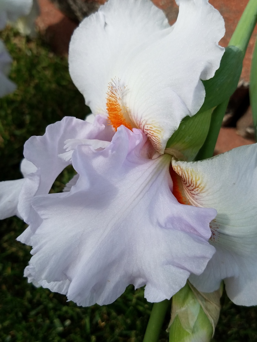 Pale Purple and White Iris