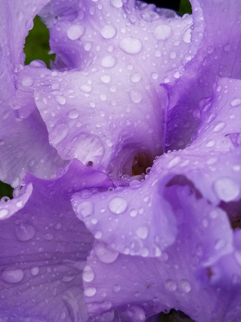 Purple Iris Water Drops