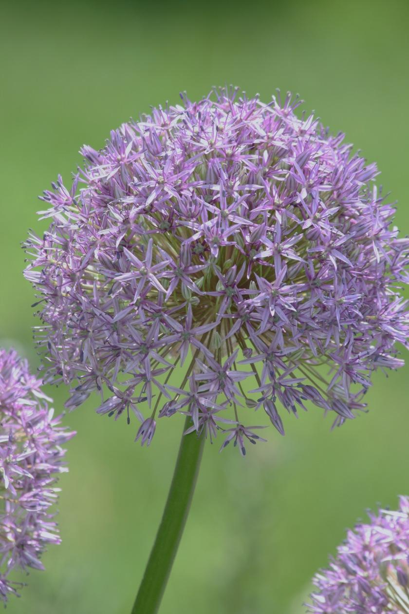 Purple Ball Flowers