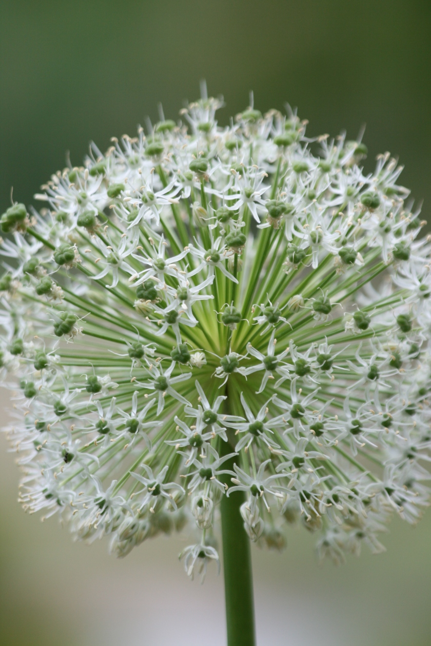 White Ball Flowers