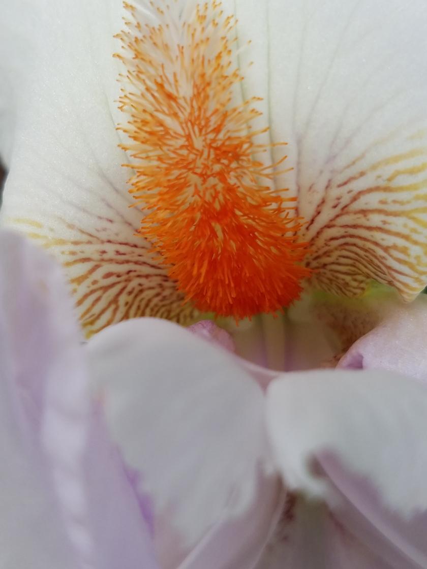 Iris Close Detail