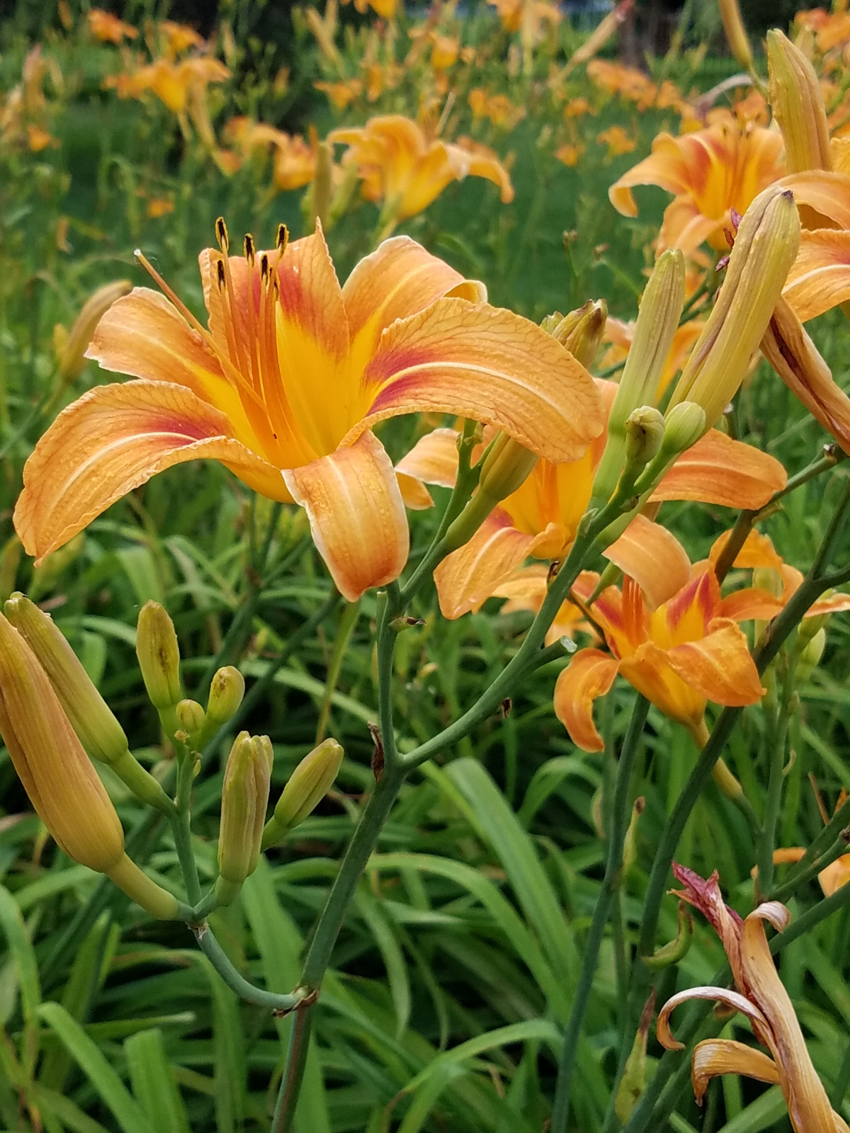 Old Fashioned Daylilies