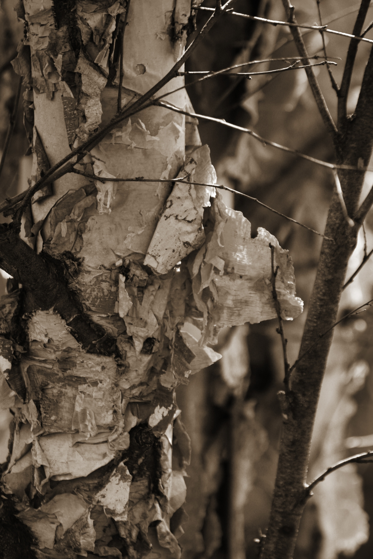 Birch Trunk - Black & White
