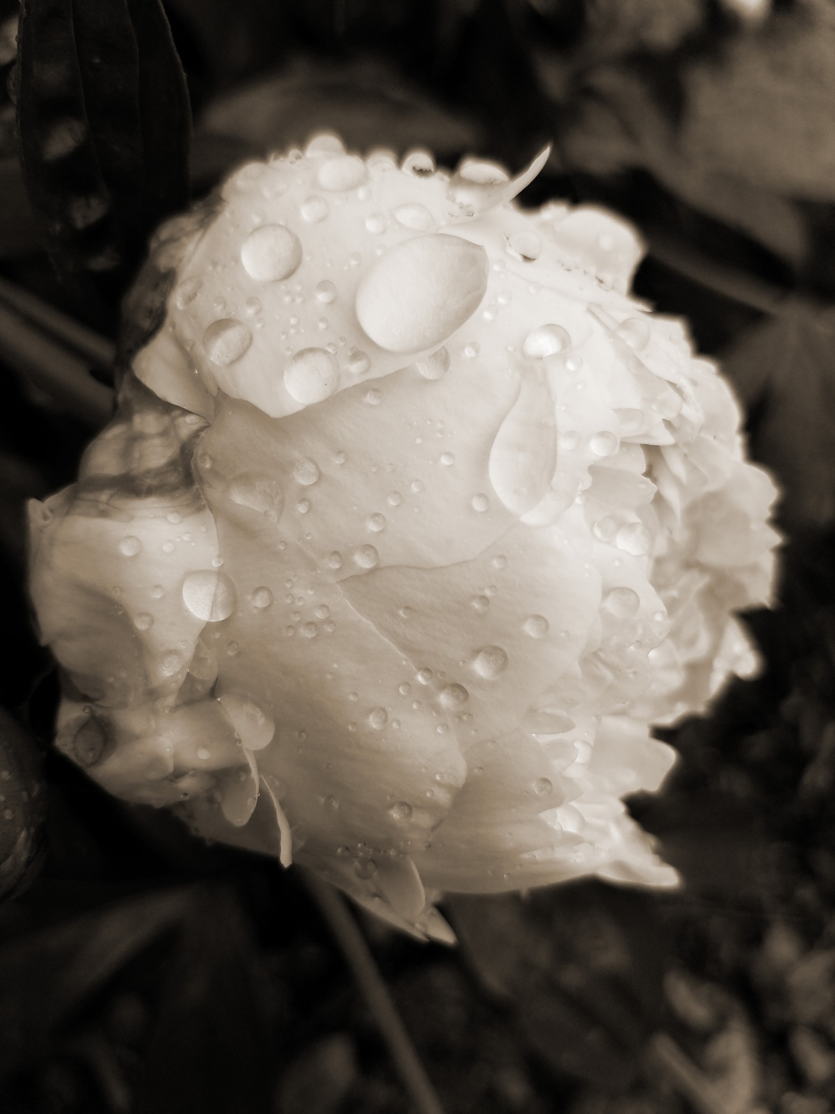 Black and White Peony