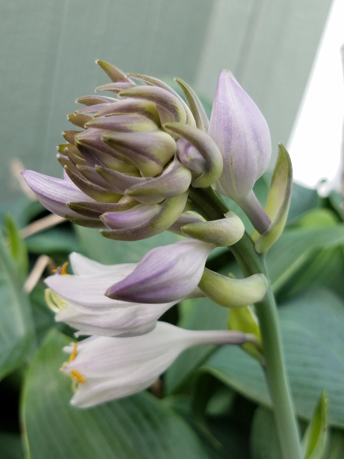 Partial Bloom Hosta