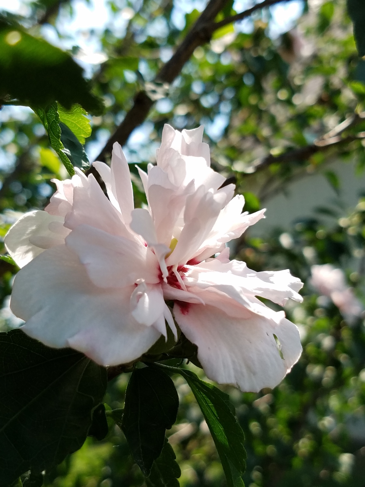 Sunlit Rose of Sharon