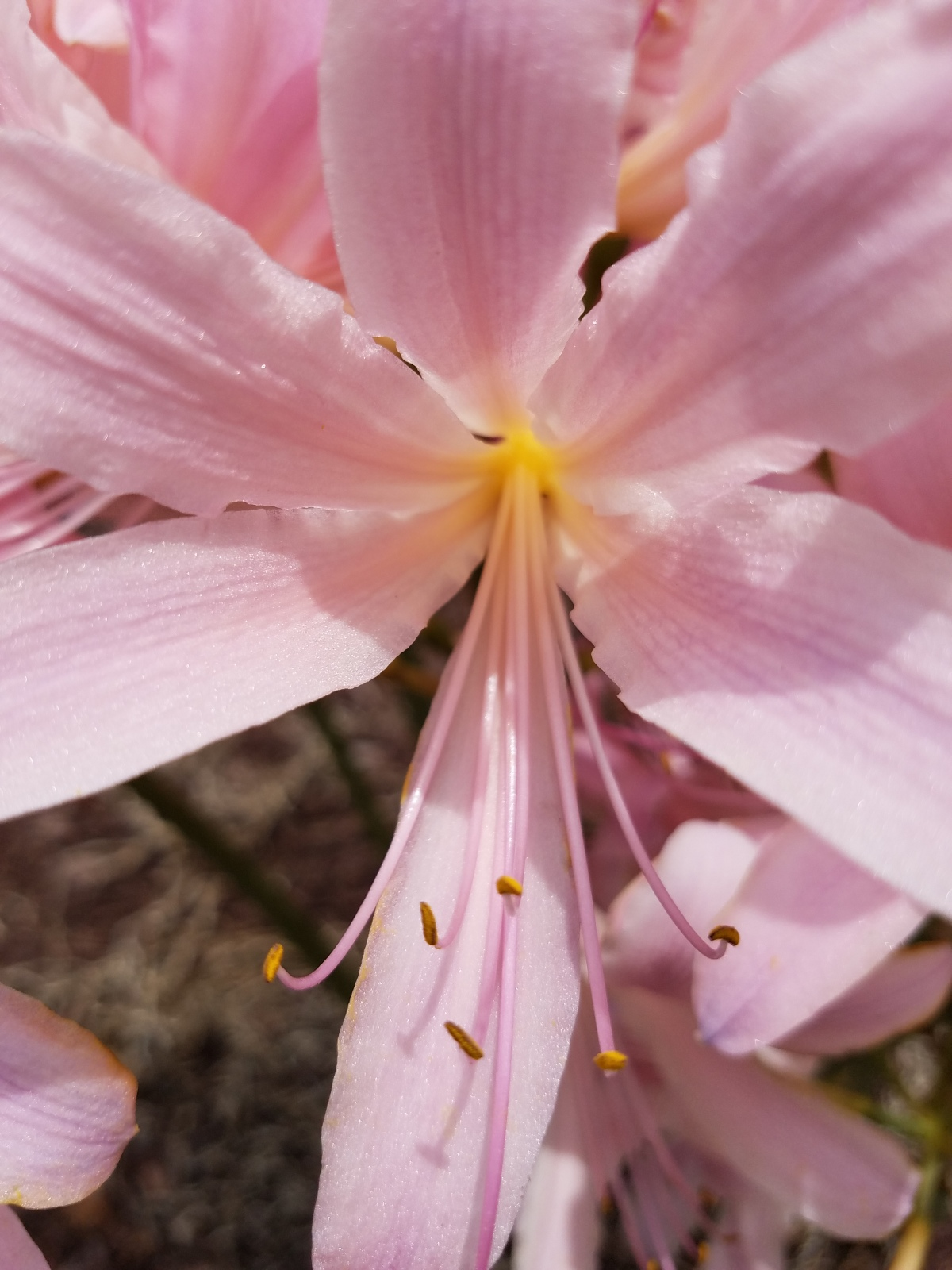 Surprise Lilies (Naked Ladies)