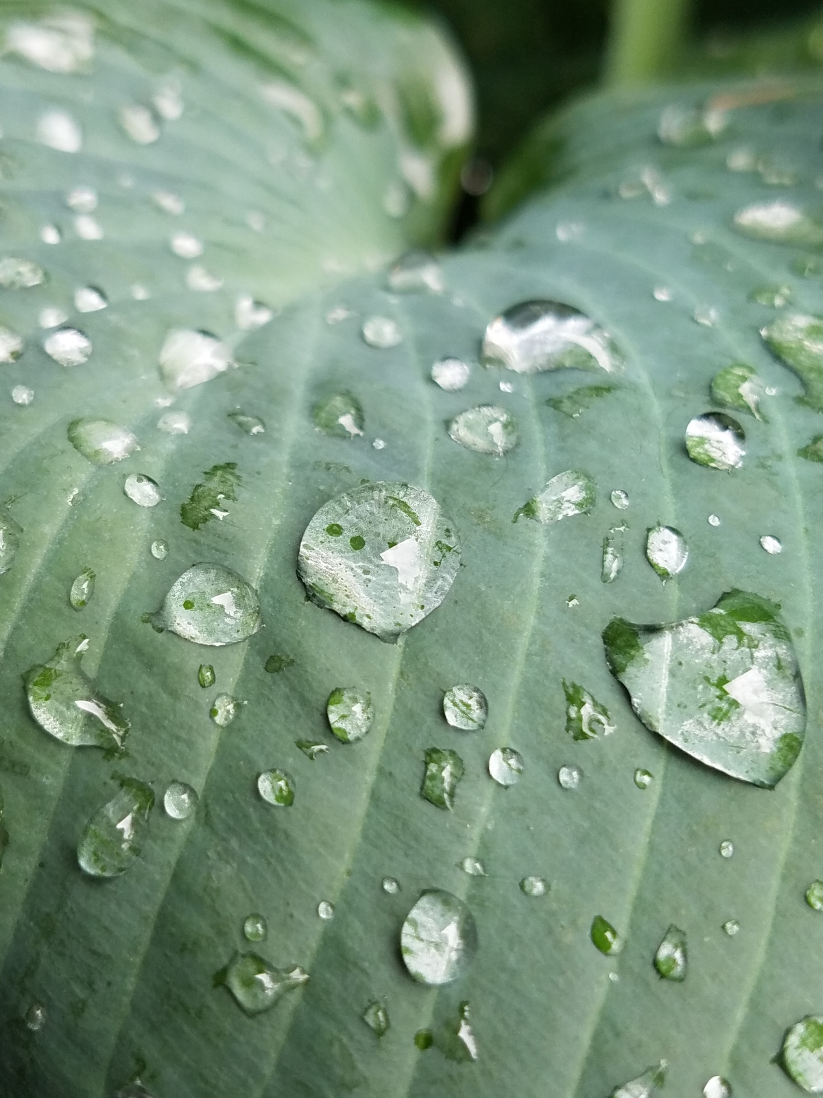 Drops On Hosta Leaf