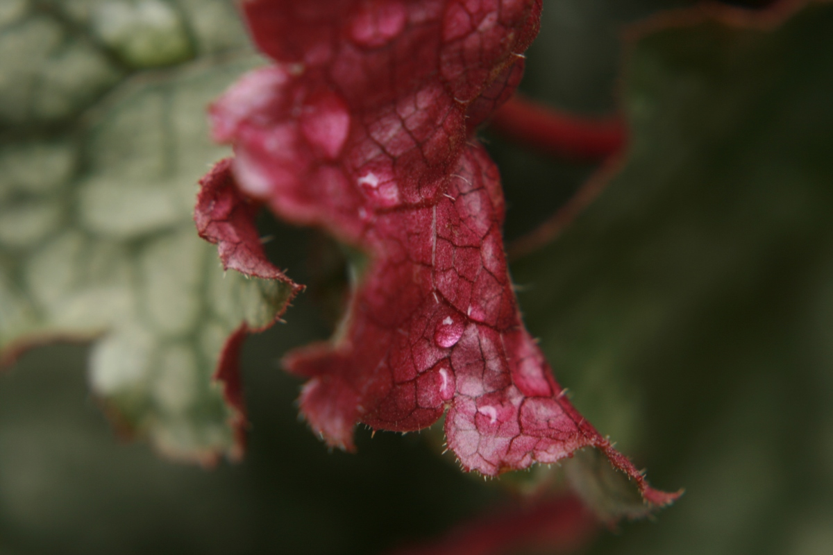 Coral Bells Leaves