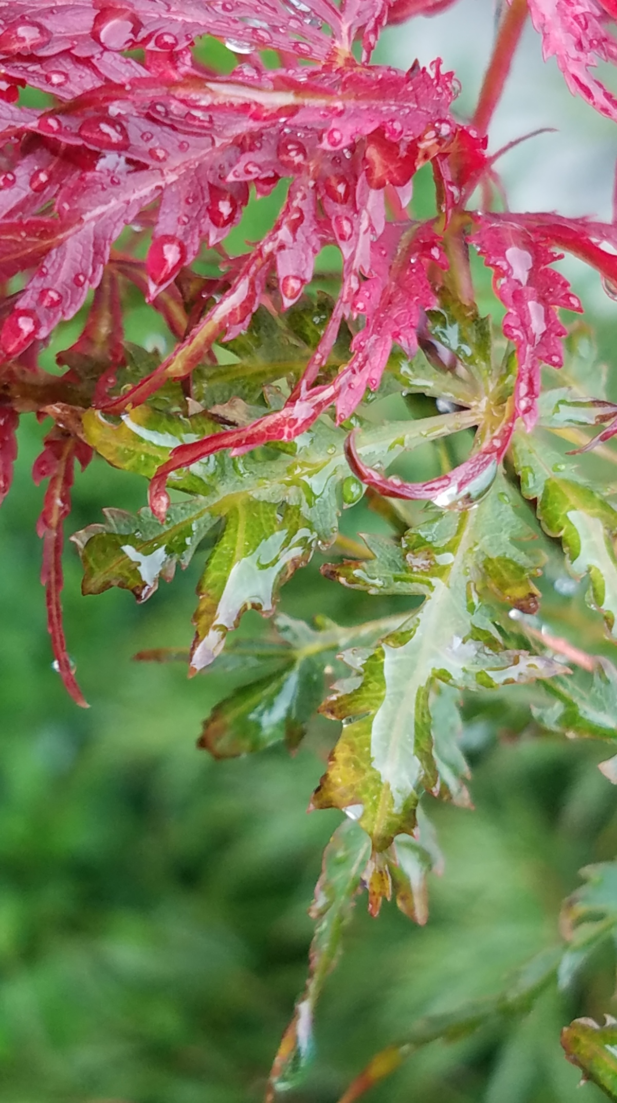 Rainy Japanese Maple