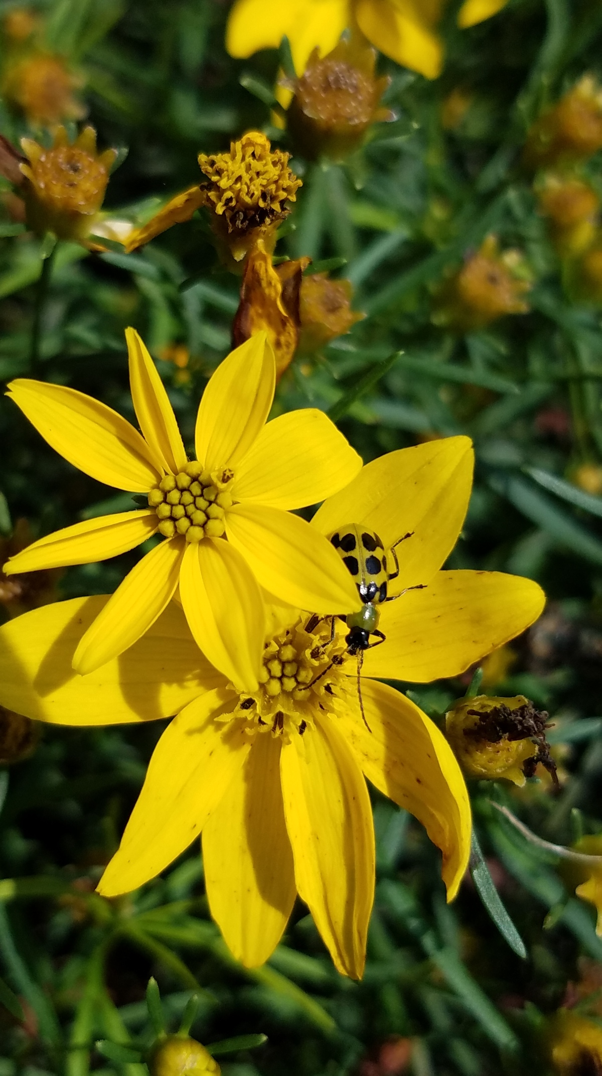 Yellow Spotted Beetle