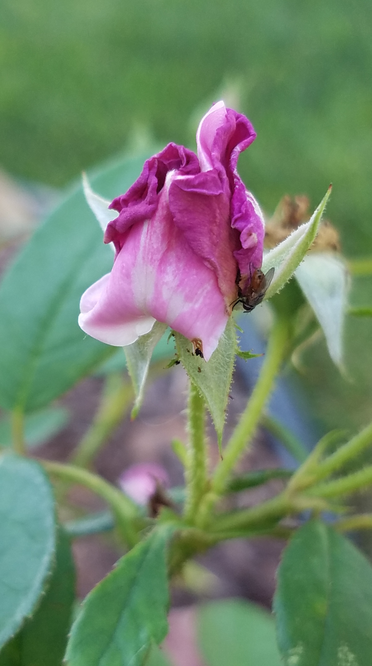 Tightly Furled Rose Bud
