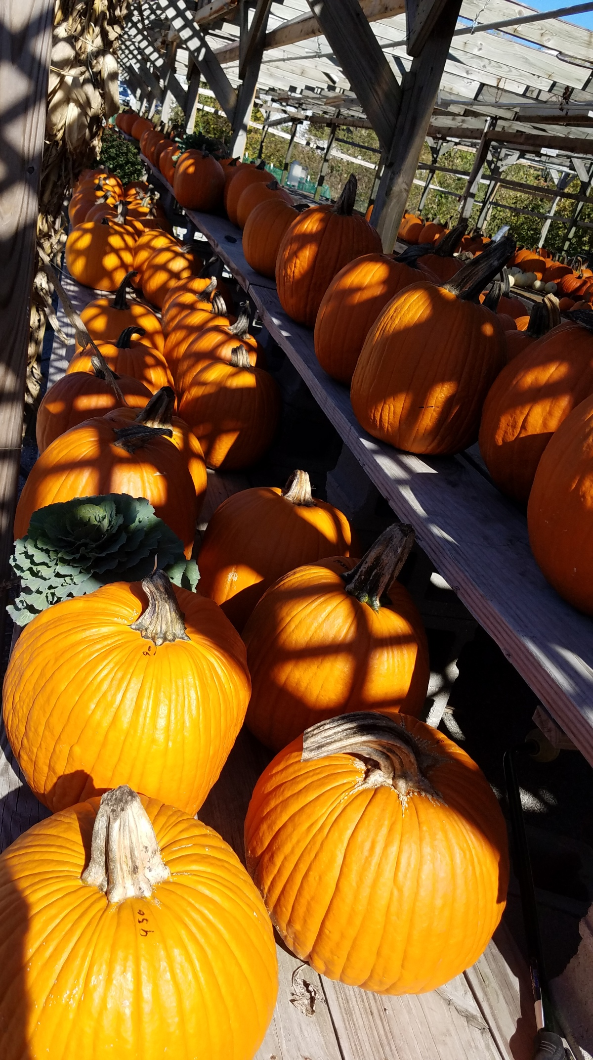 Pumpkins All In A Row