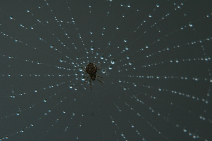 Spider In Misted Web