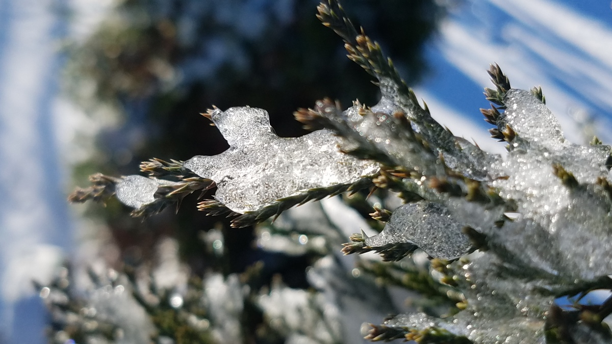 Iced Evergreen