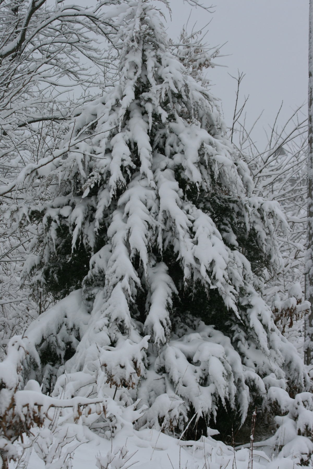 Snowy, Droopy Evergreen