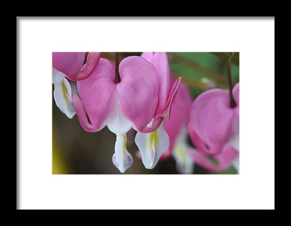 Framed Pink Bleeding Heart Print