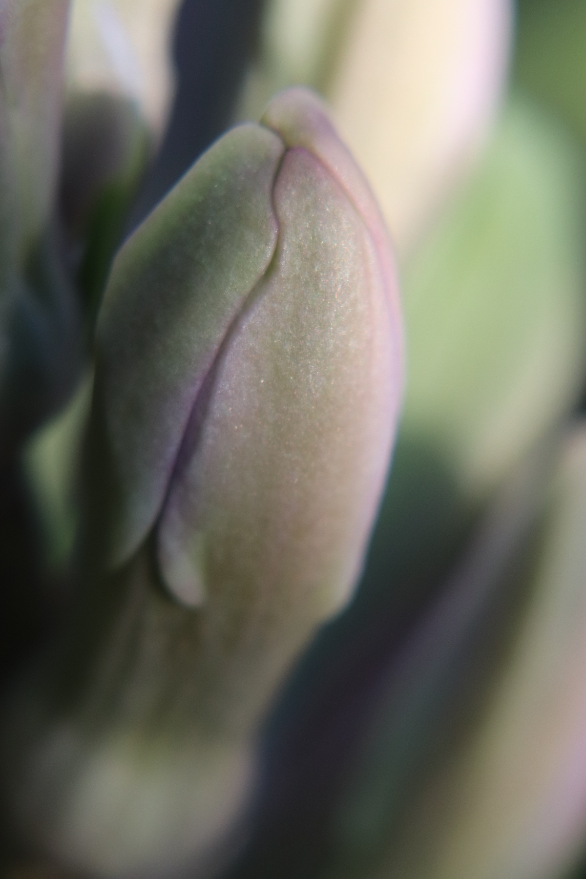Budding Hyacinth