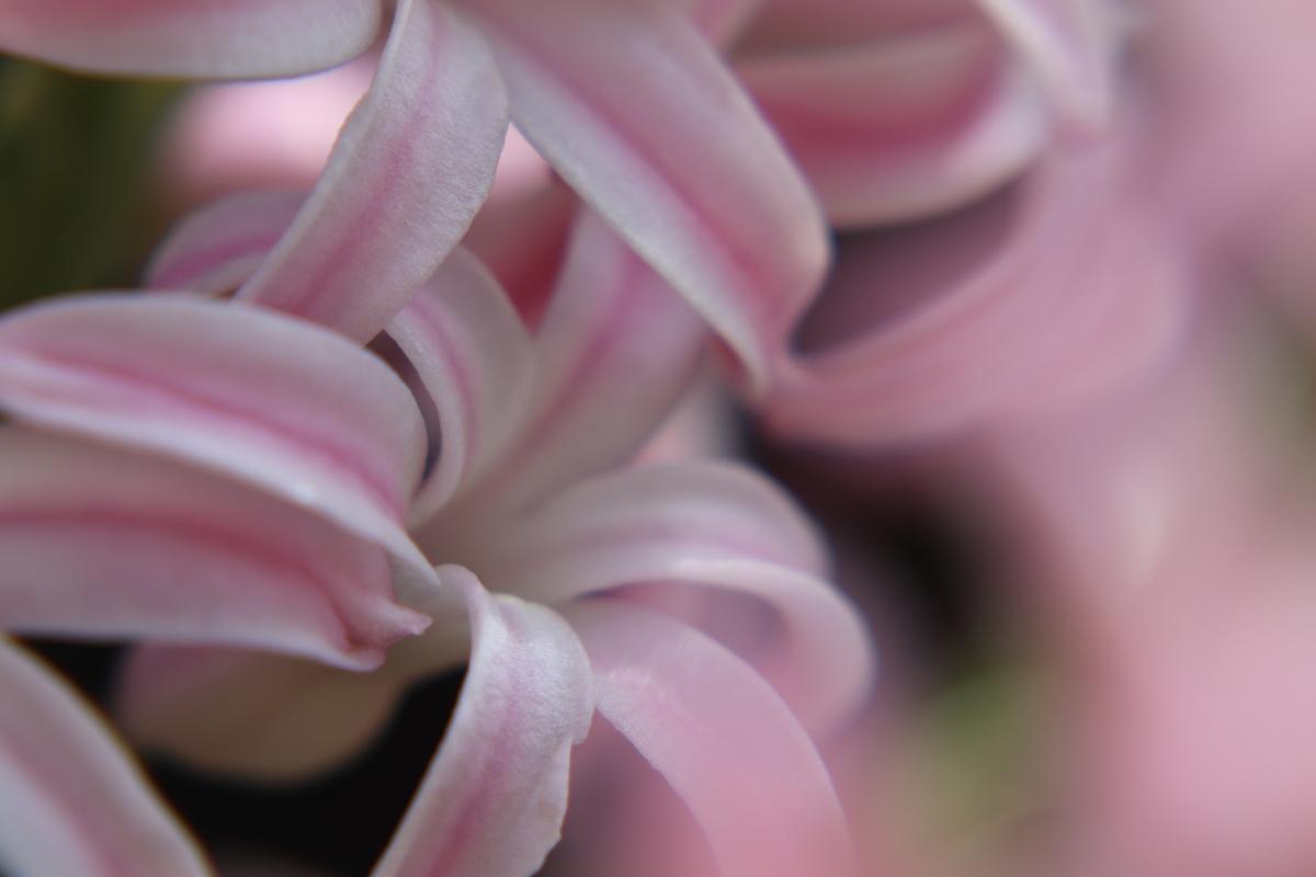 Pale Pink Hyacinths