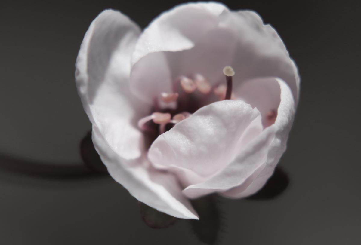 Soft Color Sand CherryBlossom
