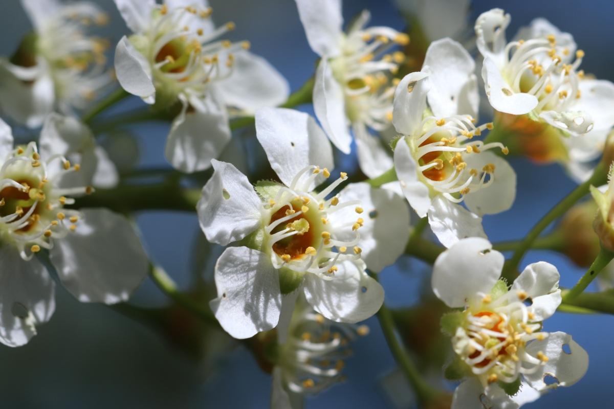 Chokecherry Blooms