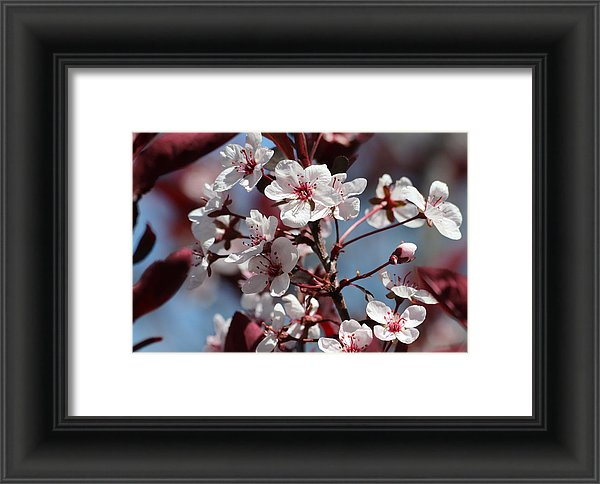 Framed Sand Cherry Blossoms