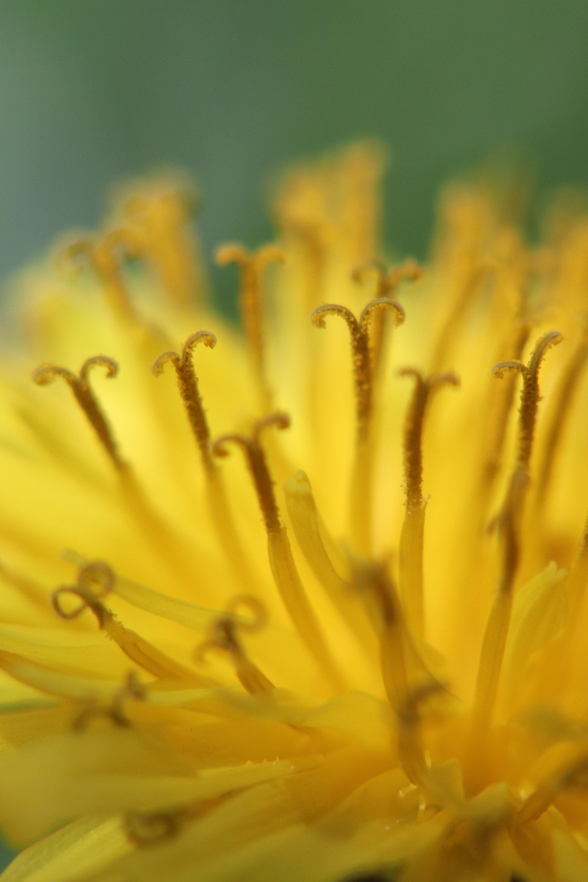 Yellow Dandelion Curls