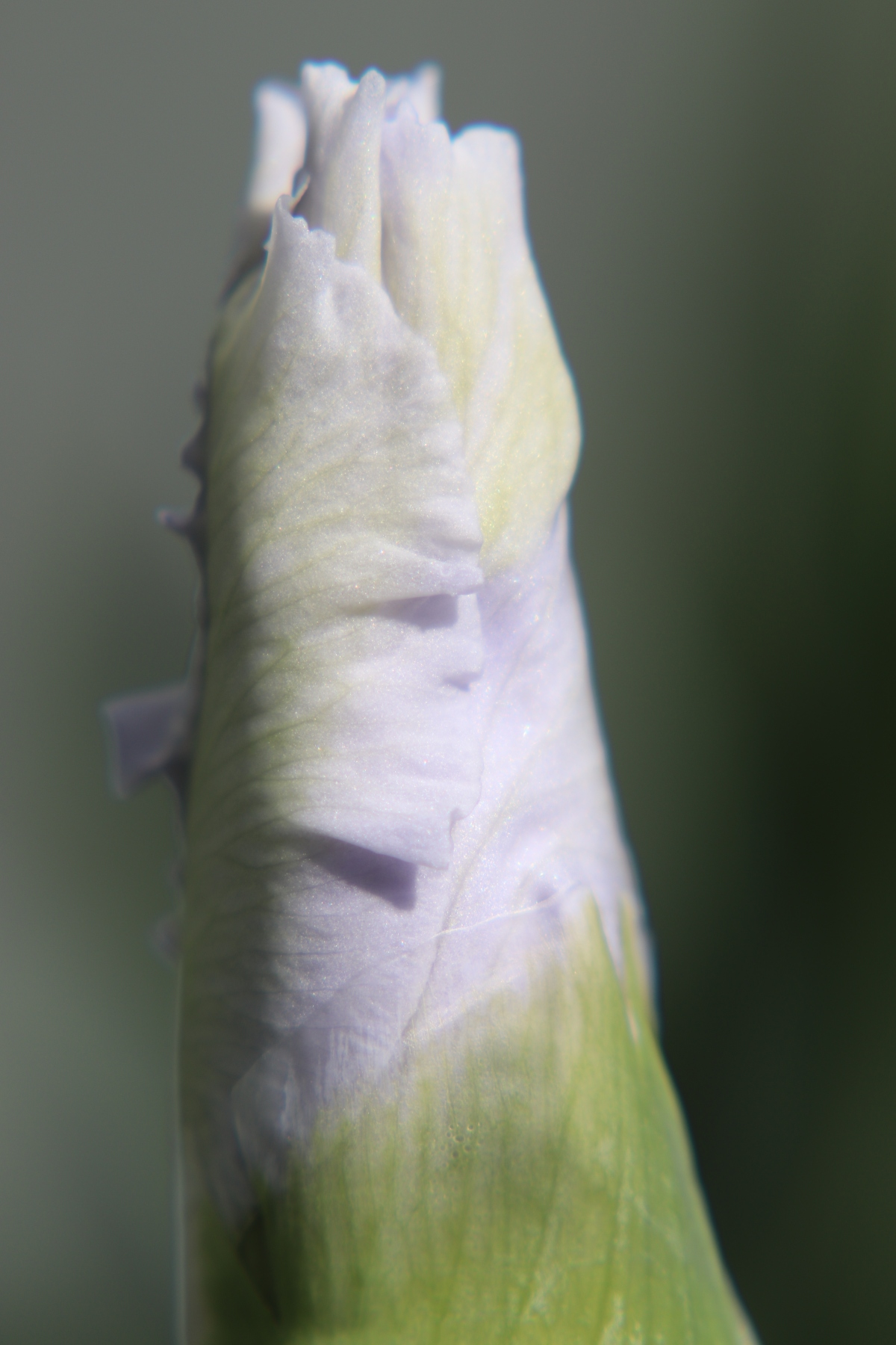 Pale Purple Iris Bud