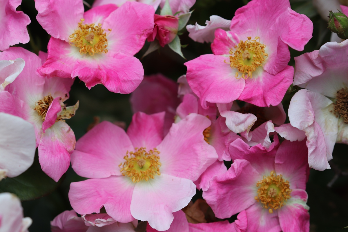 Nearly Wild Roses