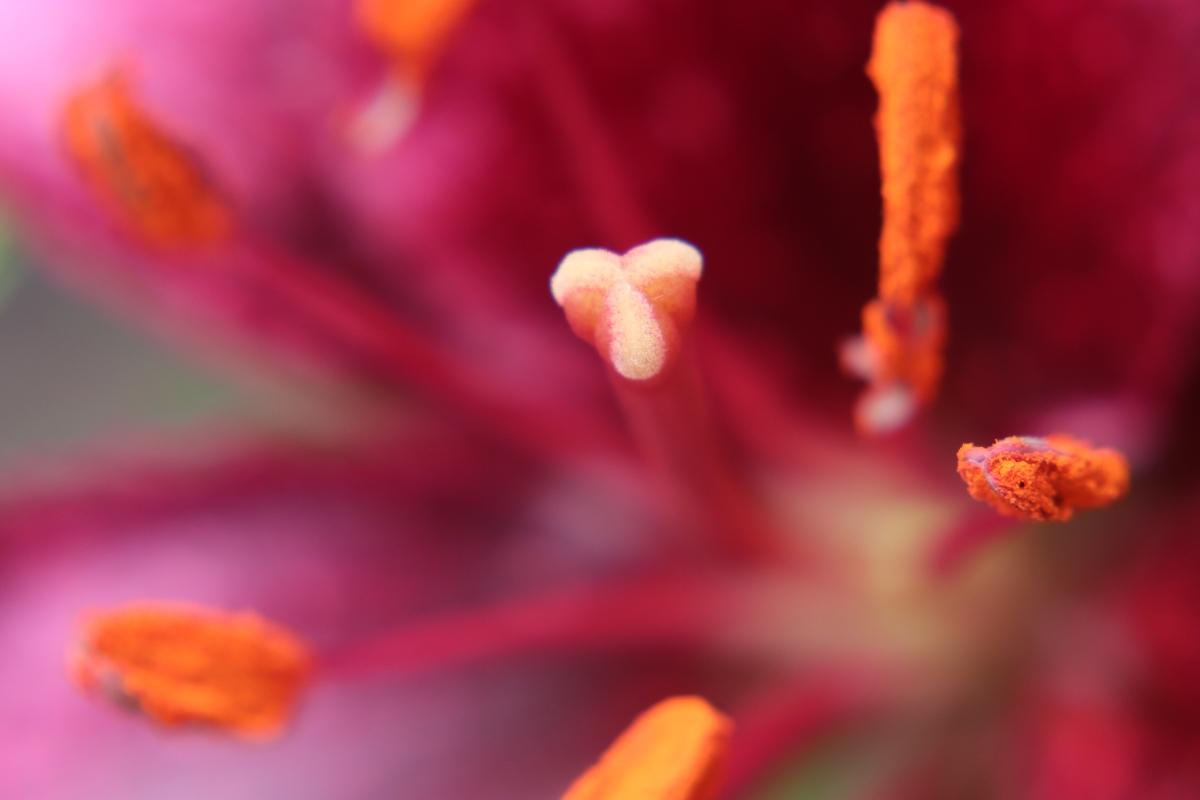 Daylily Stamen