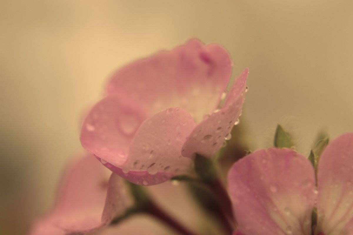 Rain Kissed Pink Geranium