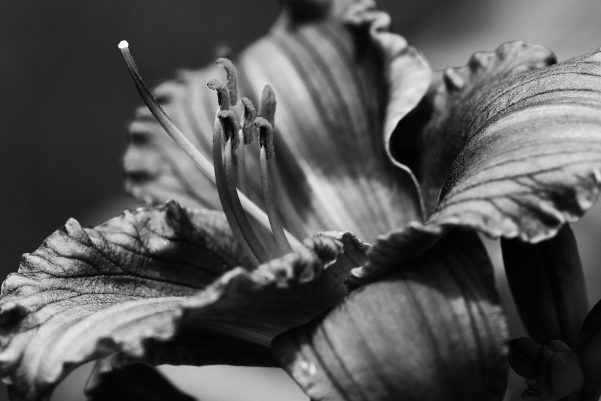 Black And White Daylily